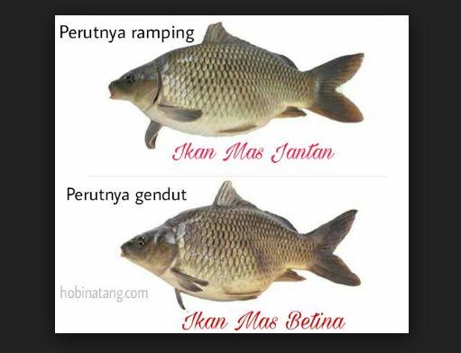Pemilihan Induk Ikan Mas
