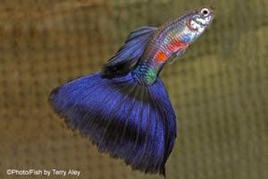 Terry Aley Purple