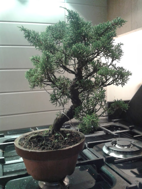 bonsai, juniperus bonsai, training juniper, itoigawa bonsai