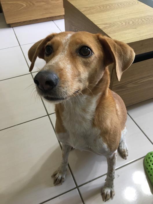 尼古拉動物醫院: 犬耳血腫( Ear Hematoma In Dogs