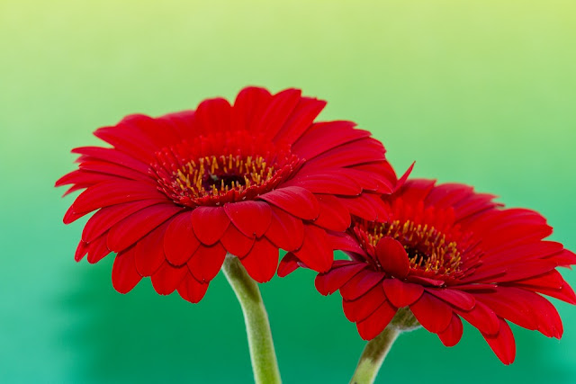 Red Lilies and Gerberas