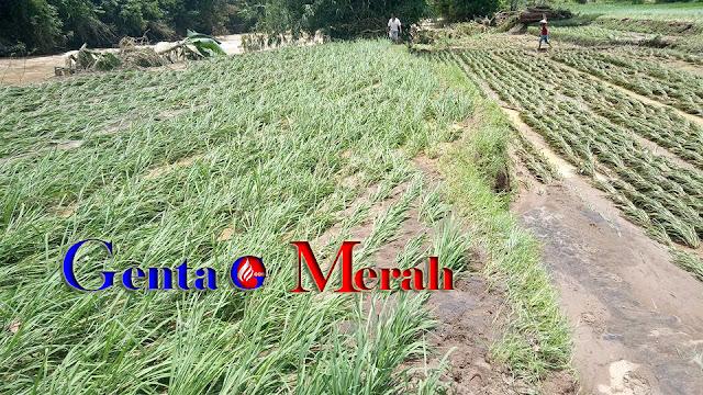 Dihantam Banjir, Puluhan Hektar Sawah di Banjit Terancam Puso