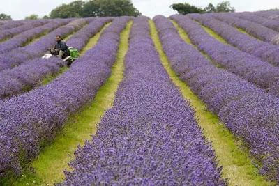 Αρωματικά φυτά και καλλιέργειες