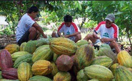 Petani kakao sedang memanen kakao di kebunnya. Kakao dari Asahan terkenal sebagai kakao terbaik nomor 3 di Dunia.