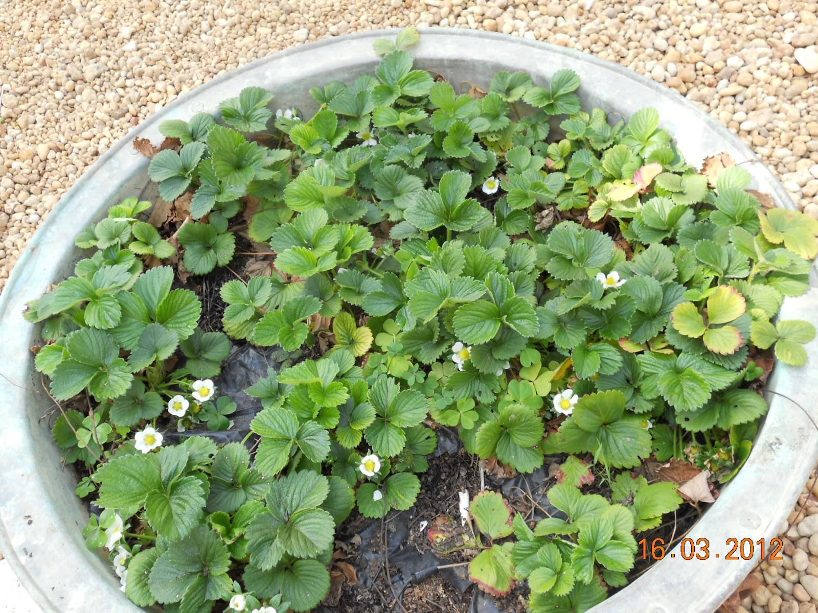 Tainara Batistella A Minha Pequena: Pratos Y Panelas: A Minha Pequena Horta Em Abril 2012