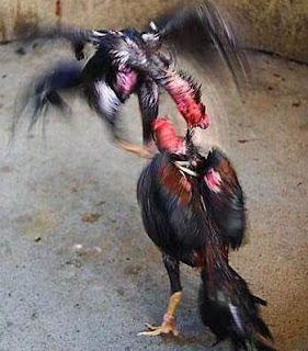 Adu ayam siam shamo jenis ayam jepang