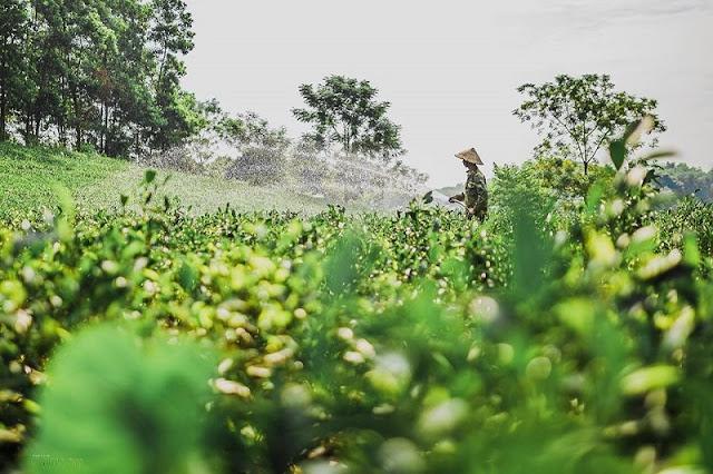 Tan Cuong tea hill at dawn 4