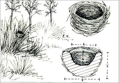 Sietevestidos Poospiza nigrorufa