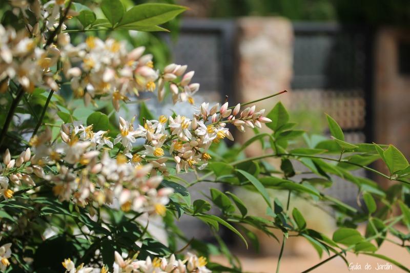 Florecillas de nandina doméstica