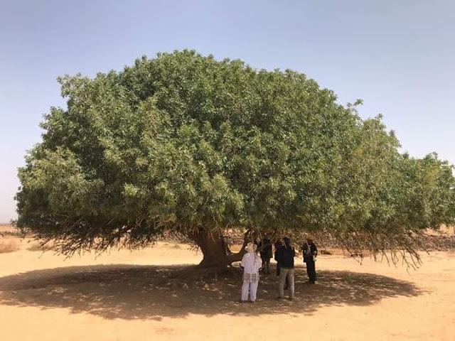 Kisah Pohon Sahabi Sahabat Yang Menaungi Nabi Muhammad SAW