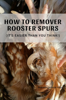 Removing the spurs from a rooster