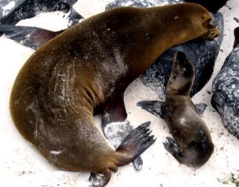 Foto de lobo marino hembra con su hijo
