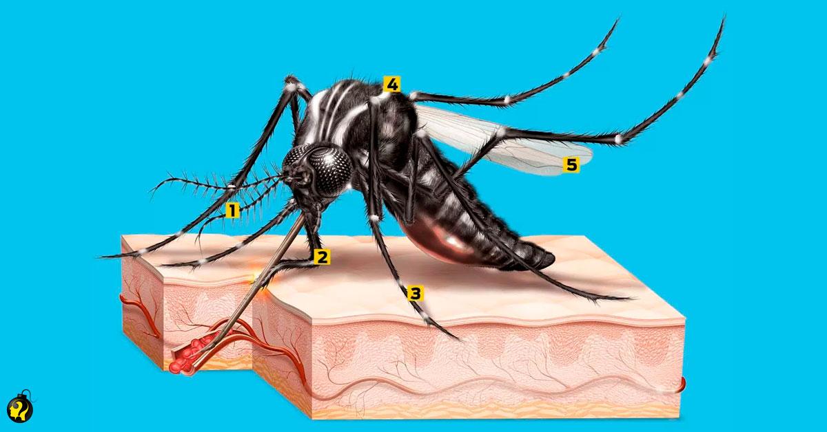 Aprenda sobre anatomia do mosquito da dengue?