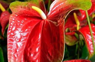 Gambar Bunga Anthurium yang Cantik 4