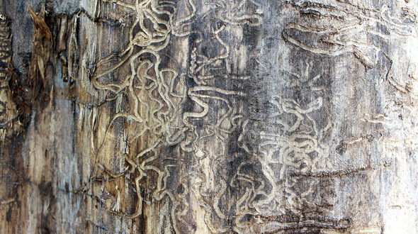 Termite and boring insect infestation kills trees