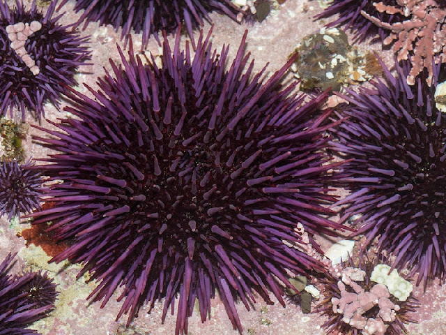 Purple Sea Urchin Photo