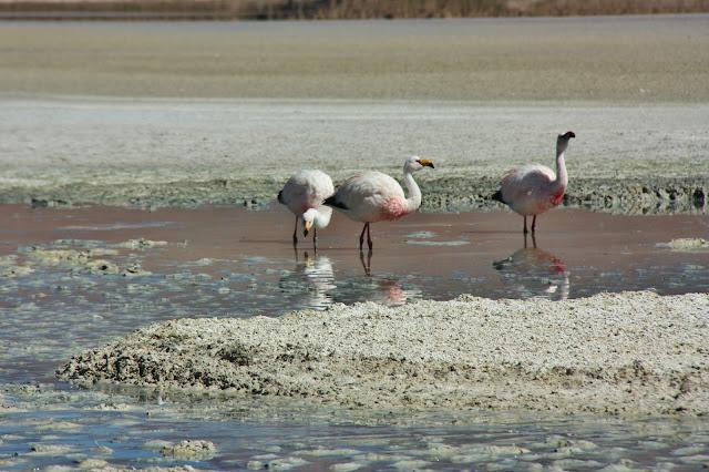 Flamingos na Laguna Honda, uma das lagunas altiplânicas da Bolívia