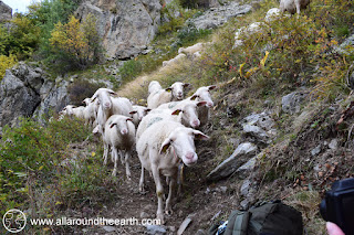 Curious sheep trying to eat a Hiker's backpack in the Valgaudemar Valley, Ecrins National Park, Alps of France