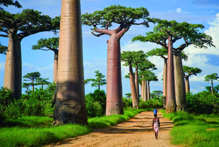 17. Avenue of the Baobabs, Menabe, Madagascar - 29 Wonderful Paths