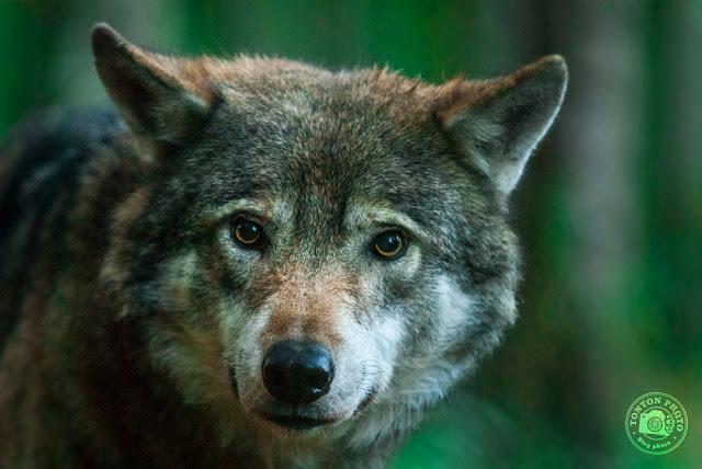 Loup, reserve Nordens Ark, Sweden © Clement Racineux / Tonton Photo
