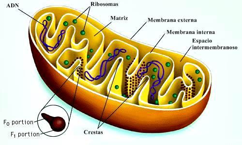 Mitocondria: estructura interna