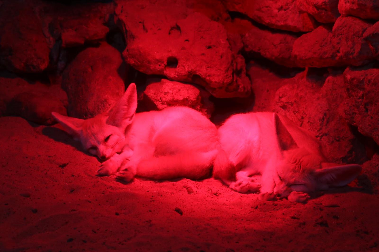 Fennec Fox in Zoo De Castellar, Spain