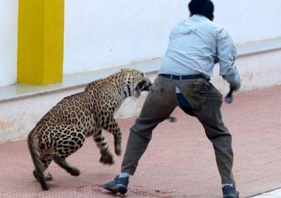 Leopard Mauled Six As It Strolls Into Indian School (Photos)