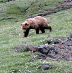Biologists set to begin grizzly and black bear trapping for research purposes in Yellowstone