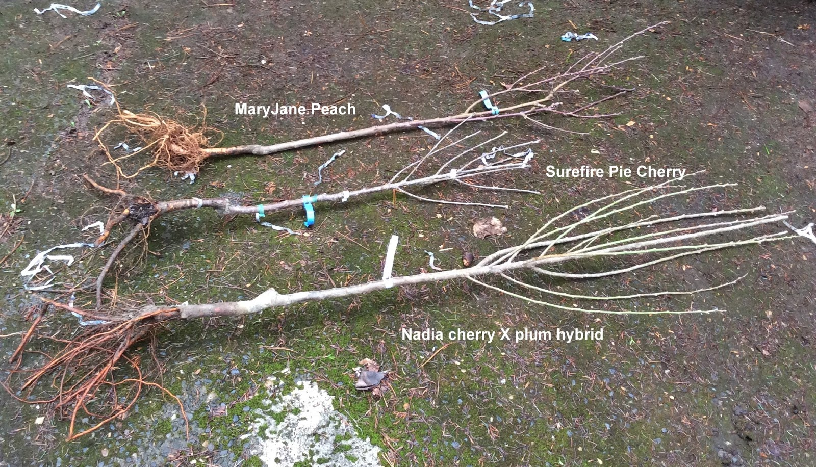 new bare root fruit trees