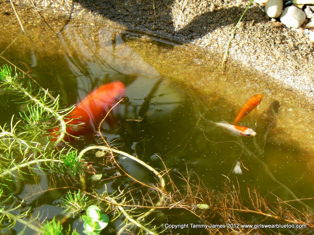 Goldfish Baby Related ...