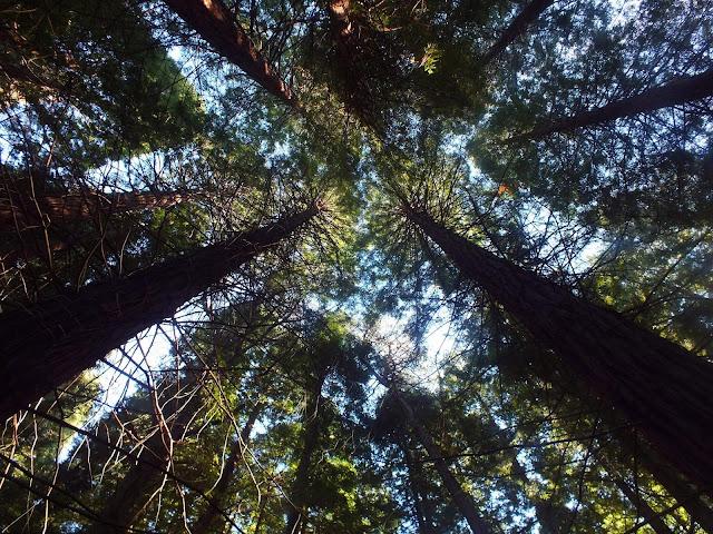 troncos de secuoyas en Cantabria