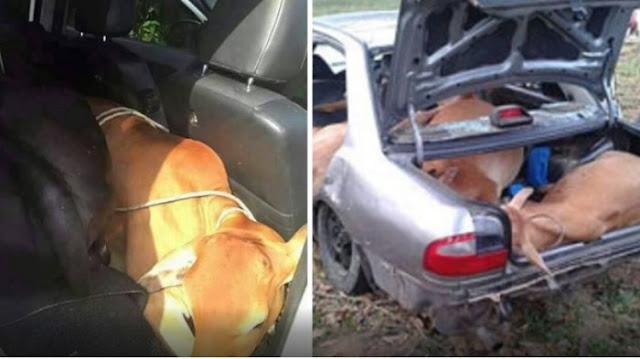 Ada-Ada Saja Kelakuan Pencuri Ini, Memodifikasi Mobil Supaya Sapi Bisa Mudah Diangkut Pakai Mobilnya