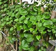 Manfaat tanaman Binahong