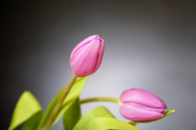 hoa tulip dep nhat 9