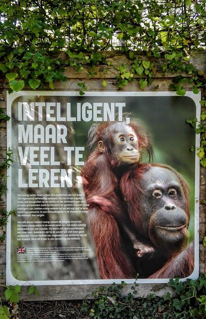 Informatiebord van orang-oetans: ze zijn intelligent maar moeten nog wel veel leren van andere orang-oetans voordat ze volwassen zijn