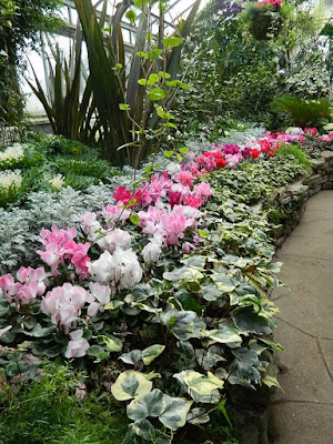 Massed cyclamen, dusty miller and ivy at the  2018 Allan Gardens Conservatory Winter Flower Show by garden muses--not another Toronto gardening blog