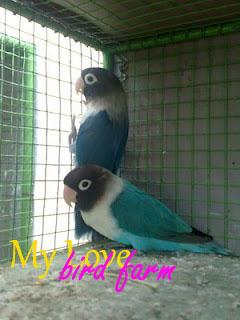 Lovebird biru - photo#45