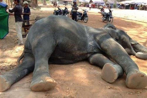 Photos: Elephant Trained To Carry Tourists And Served For 15years Finally Collapses And Dies