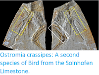 http://sciencythoughts.blogspot.com/2017/12/ostromia-crassipes-second-species-of.html