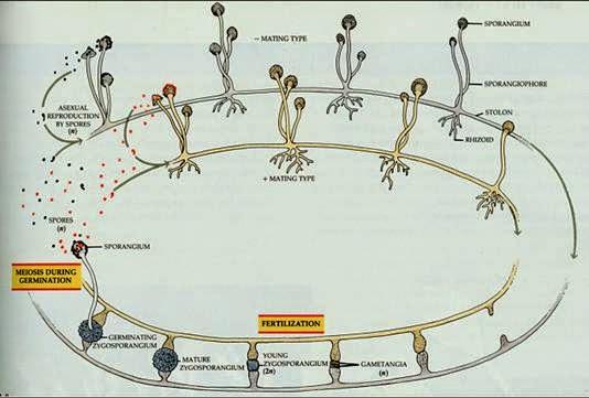 Rhizopus oligosporus asexual reproduction example