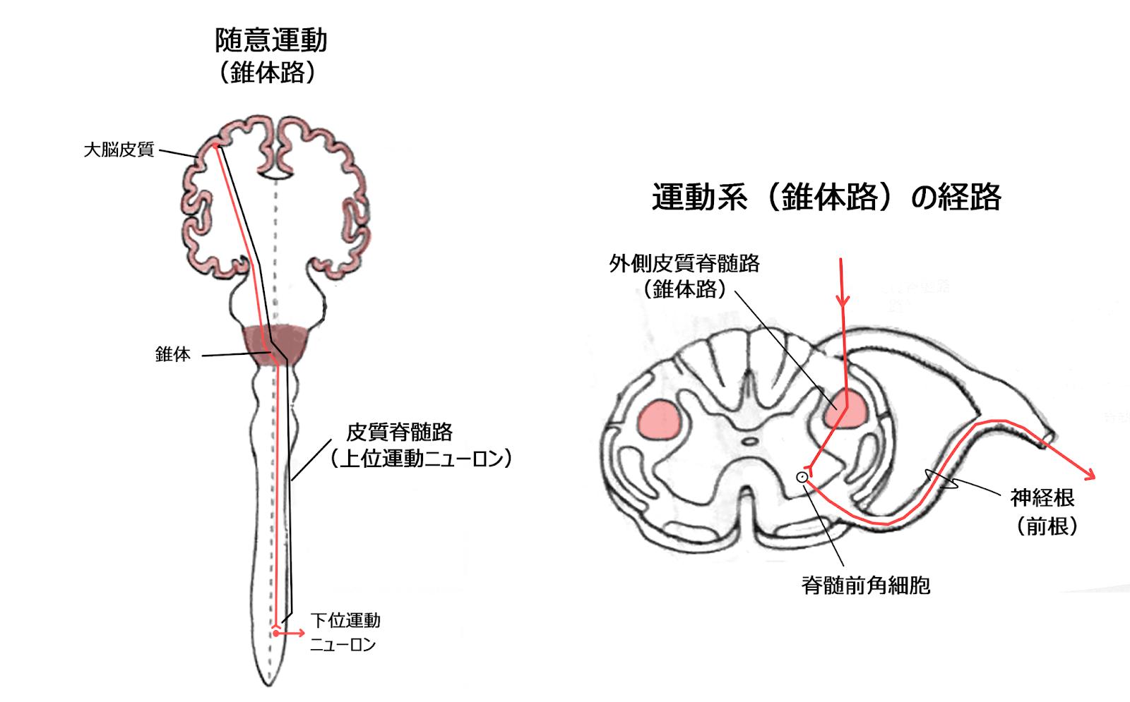 路 皮質 脊髄