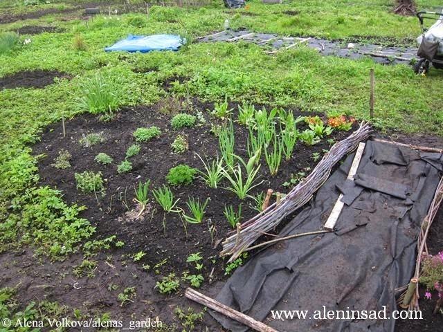 аленин сад, aleninsad, целина, весна, сныть, вьюнок, сорняки, борьба с сорняками