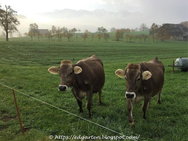 Kühe auf der Weide in Merlischachen