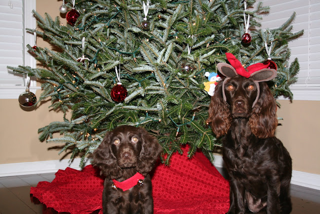 Boykin Spaniel Puppy in front of Christmas Tree | The Lowcountry Lady