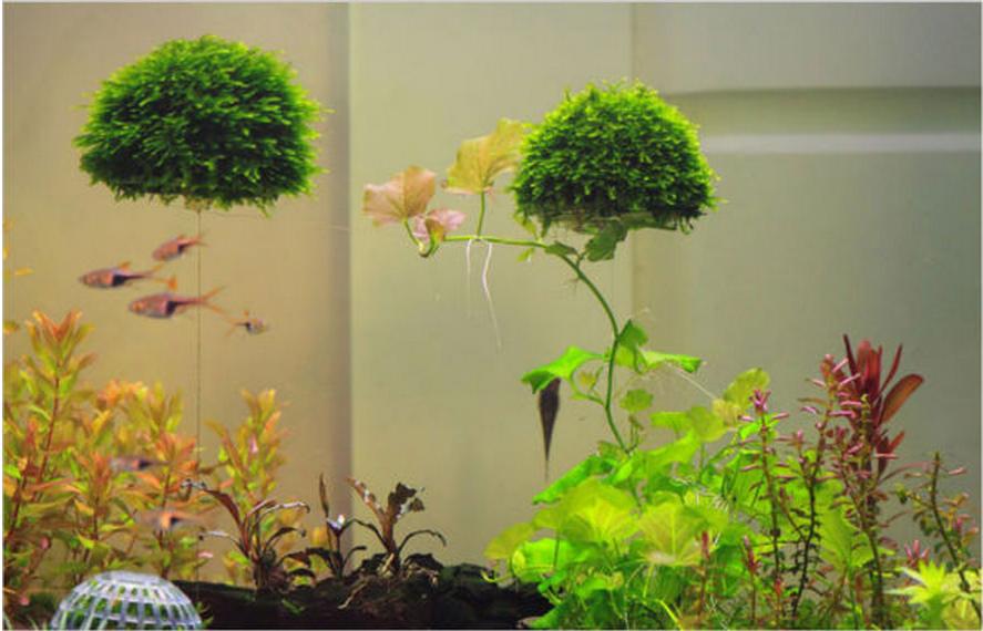 Quả cầu rêu đã phát triển hoàn chỉnh trong hồ thủy sinh