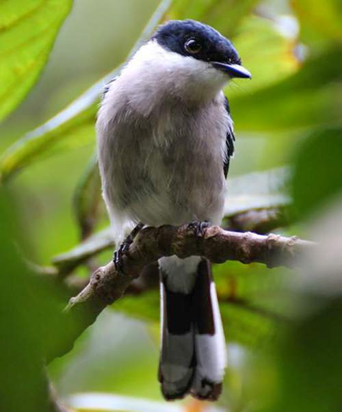 Birds of India - Photo of Bar-winged flycatcher-shrike - Hemipus picatus