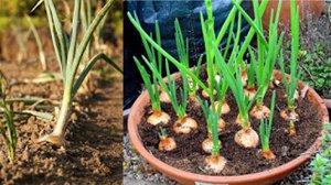 Plant Onions Organically
