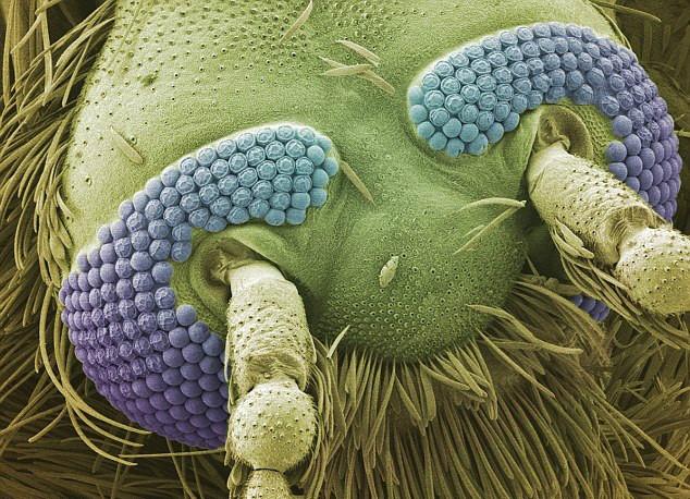 كعالم آخر مستقلٍ بذاته تحت الميكروسكوب mosquito.jpg