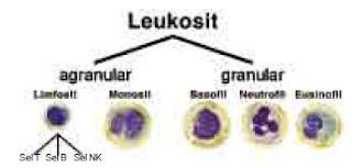 Kandungan Komposisi serta Fungsi Sel Darah Merah (Eritrosit), Sel Darah Putih (Leukosit), Keping Darah (Trombosit) dan Plasma Darah Pada Manusia
