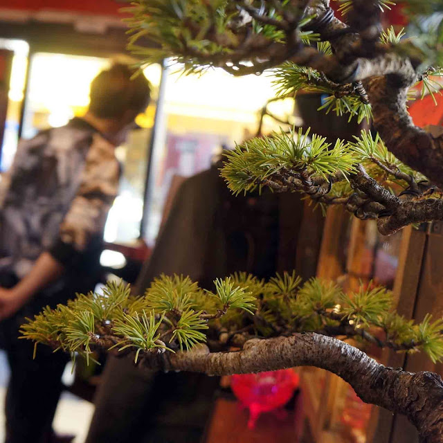 The Pine Bonsai Exhibition December 2016 at Asagaya 3349